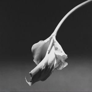 fleur mapplethorpe